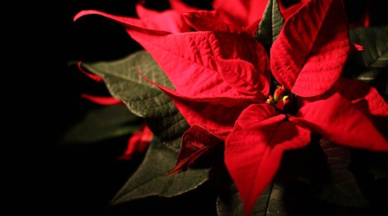 Blíží se čas vánočních hvězd