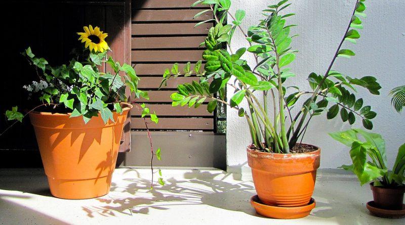 Zamiokulkas jako živý designový prvek vašeho interiéru. Pozor na chyby při pěstování